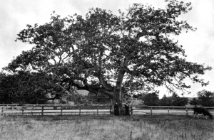 """Garry Oak on the property of Captain William McNeill; his daughter-in-law Mrs. William McNeill and granddaughter Helen."" BC Archives Call No. F-06765. Courtesy Royal British Columbia Museum Corporation. Photo dated circa 1910, attributed to ""Maynard."" Mrs William McNeill was Mary Macaulay McNeill (1839-1911), wife of Capt. McNeill's eldest son William, Jr. She lived out her life on the McNeill estate. Her youngest daughter Helen Fanny (1874-1948), moved to another neighbourhood some time after 1900."