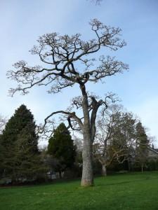 Stadacona oak lo